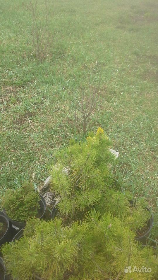 Декоративные хвойные растения купить на Зозу.ру - фотография № 2