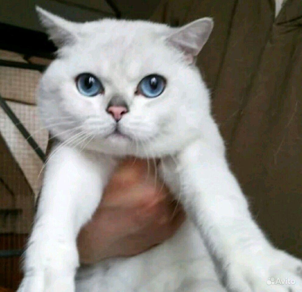 Серебристая шиншилла с голубыми глазами в Сочи - фотография № 10