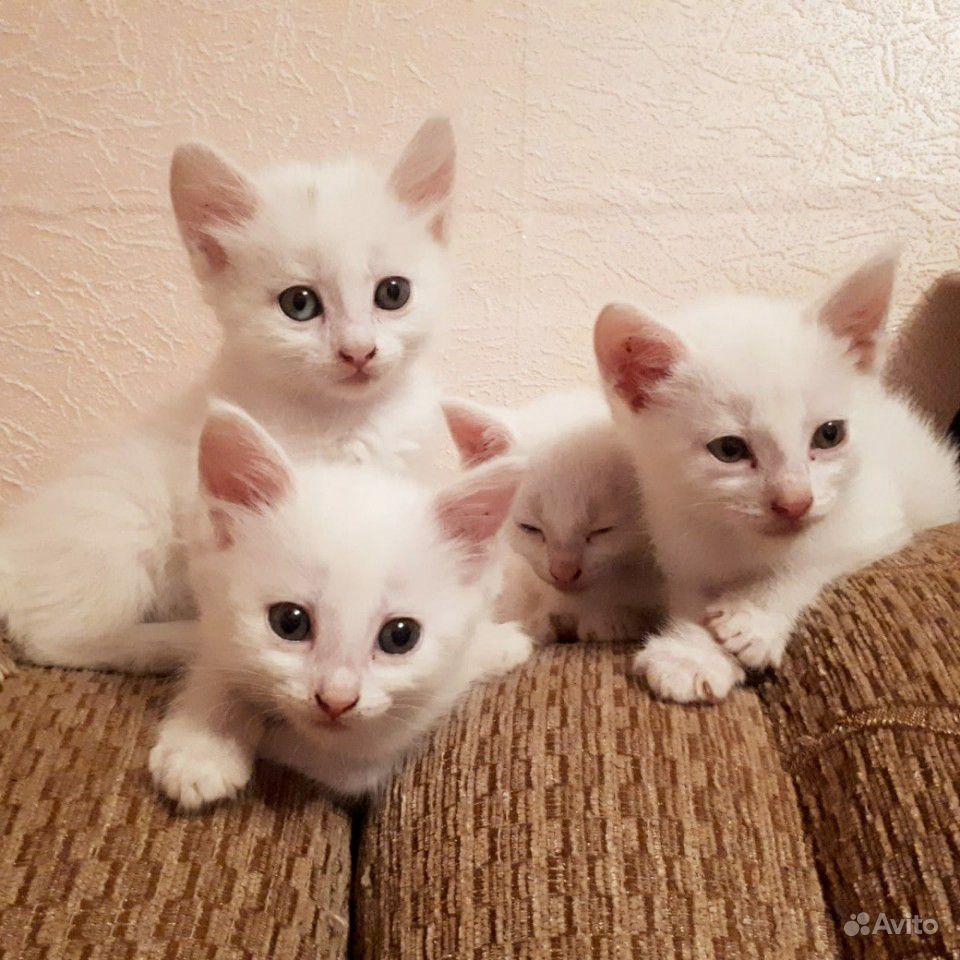 Белые (белоснежные) котята очень игривые,сообразит