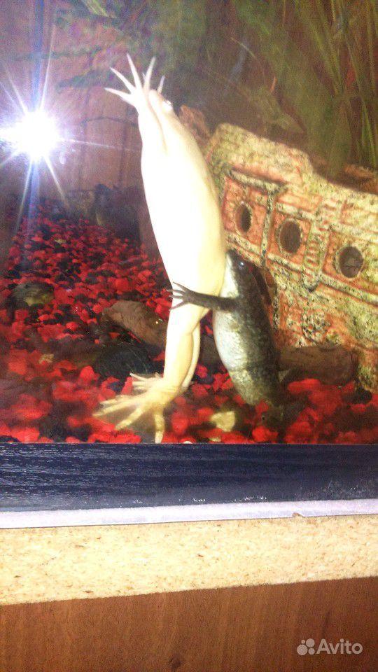Лягушки аквариумные декоративные
