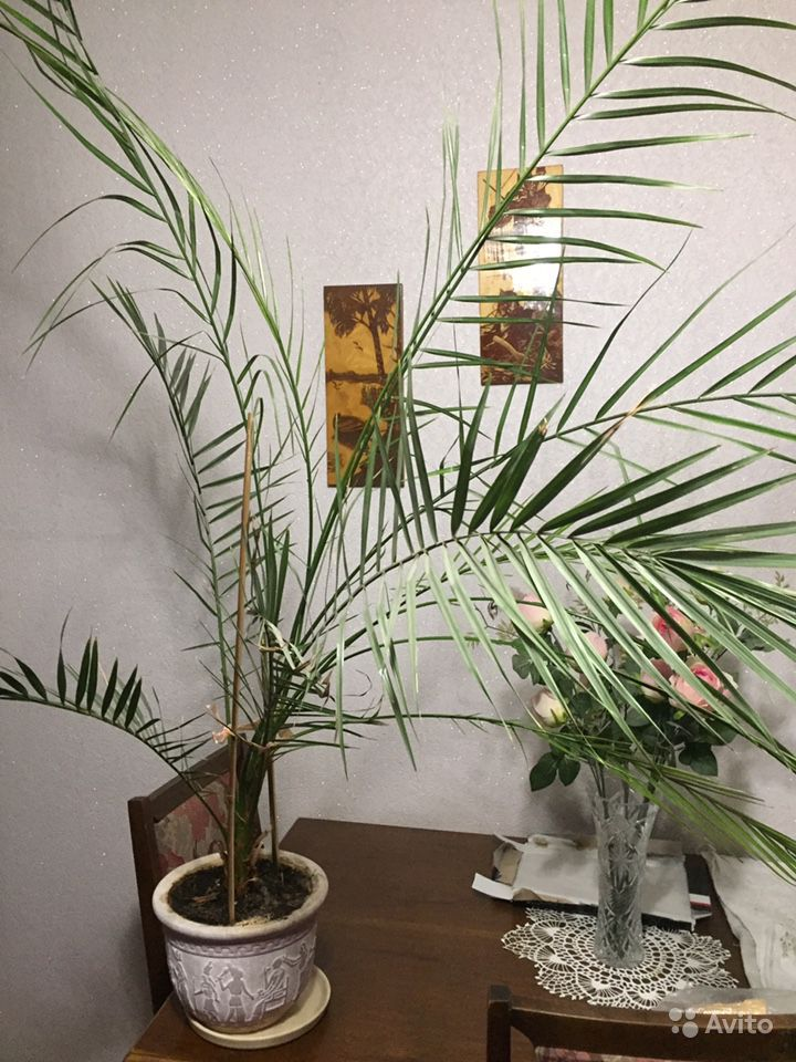 Финиковая пальма купить на Зозу.ру - фотография № 1