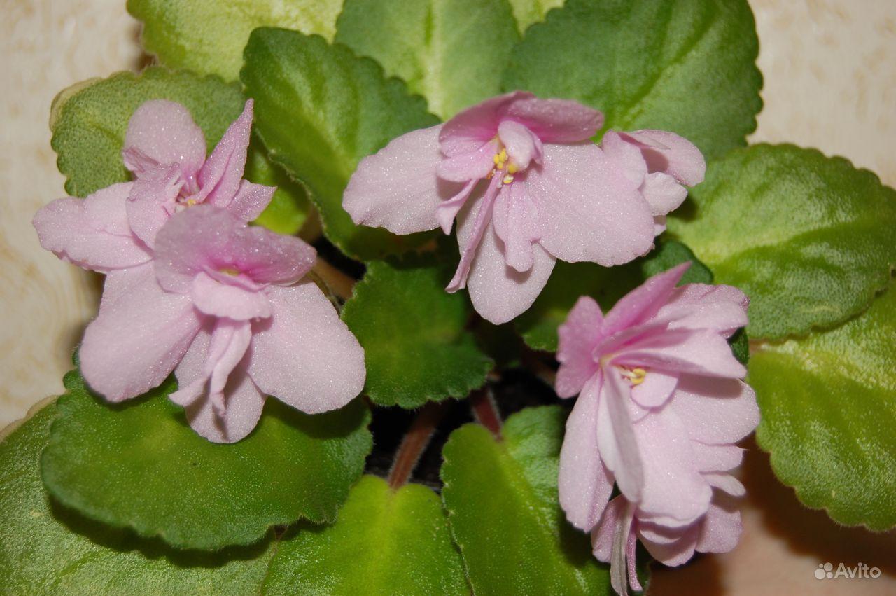 нежно розовая фиалка фото кварцвиниловую