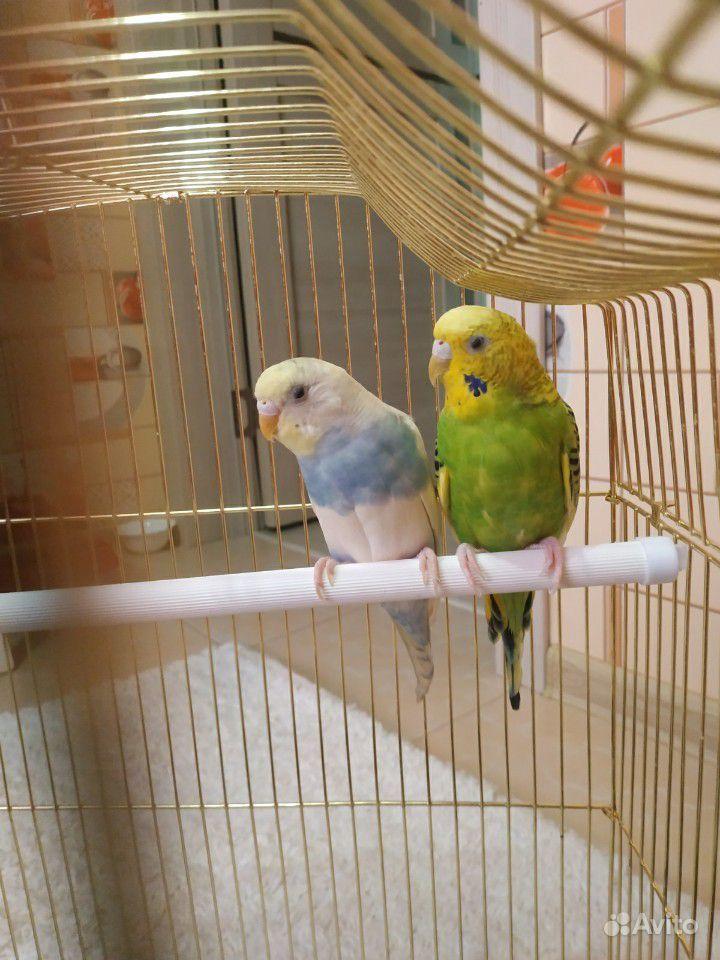 картинка продаю попугая цены отличаются