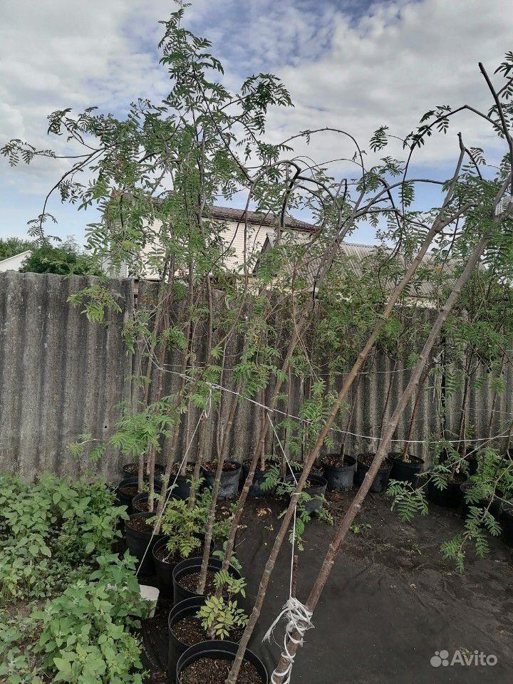 Декоративные деревья оптом купить на Зозу.ру - фотография № 3