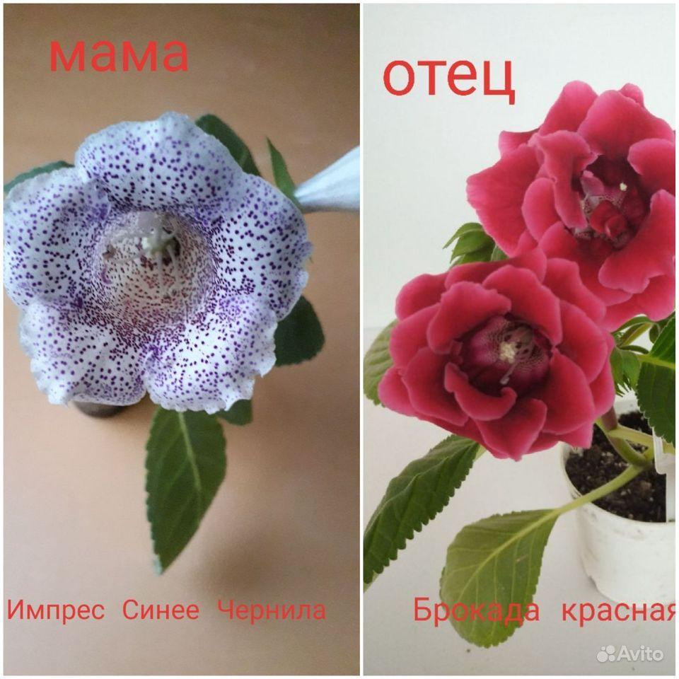Семена глоксинии купить на Зозу.ру - фотография № 1