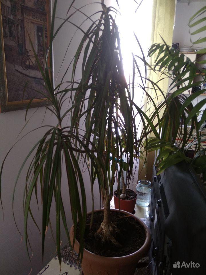 Фикус Бенджамина, пальмы, замиакулькас купить на Зозу.ру - фотография № 3