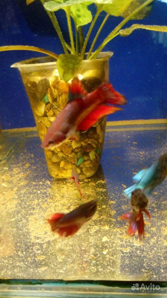 Рыба Петушки купить на Зозу.ру - фотография № 4