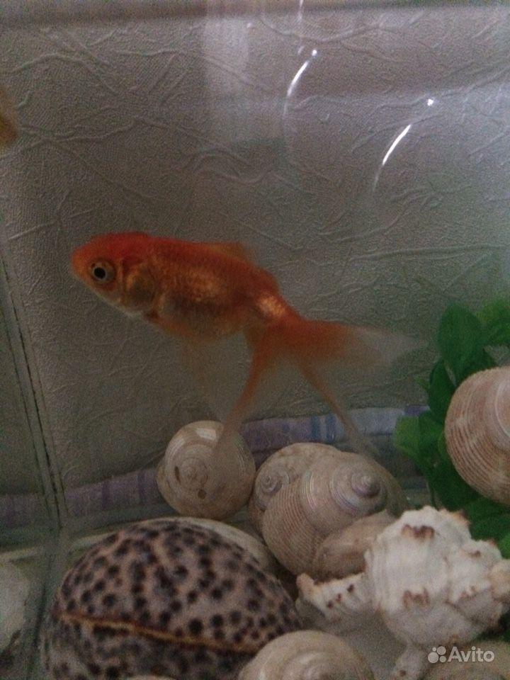 Рыба золотая купить на Зозу.ру - фотография № 3