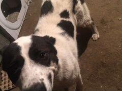 Собака порода бойцовская 8 месяцев ему кабель