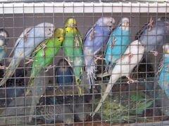 Волнистые попугаи и другие породы