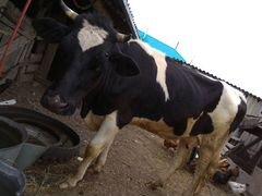 Первотелка и бык