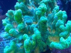 Коралл пектиния