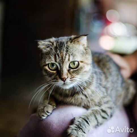 вислоухие кошки ростов: