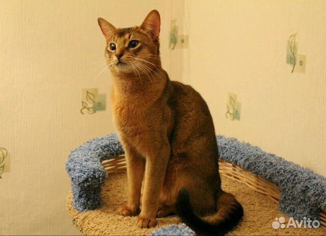 Кот в санкт-петербурге купить