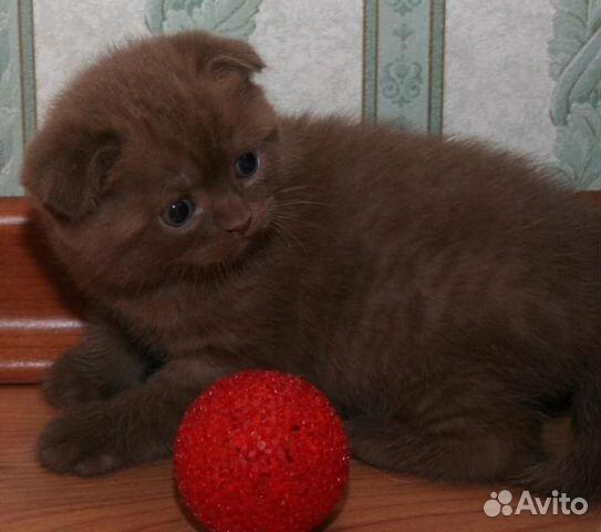 шотландский вислоухий котенок шоколадный фото