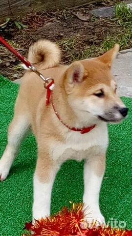 Сиба ину - лучшие щеночки купить на Зозу.ру - фотография № 2