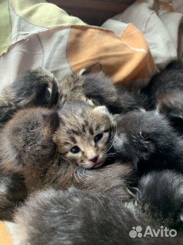 Котята в добрые руки 89642626171 купить 3