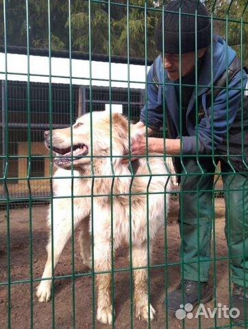 Горшая пиренейская собака в добрые руки, близкий м купить 4