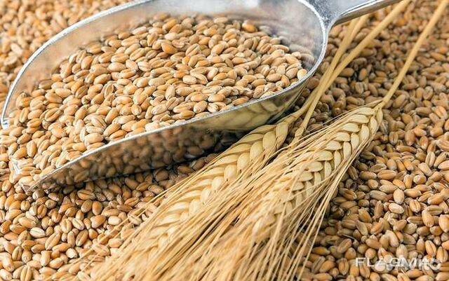 Пшеница  89782699577 купить 1