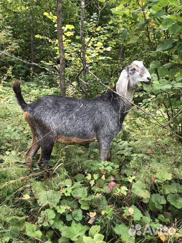 Англо-нубийские козлы производители  89154139191 купить 6