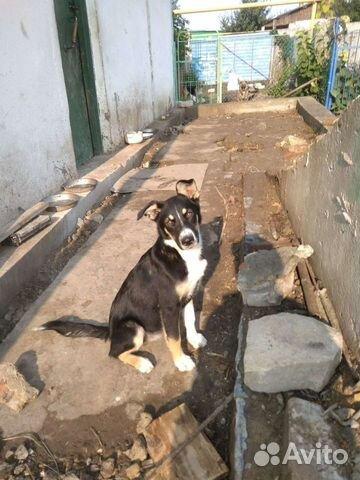 Собака  89538155990 купить 2