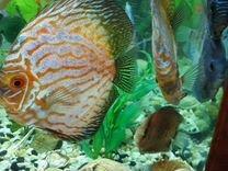 Рыба Дискус