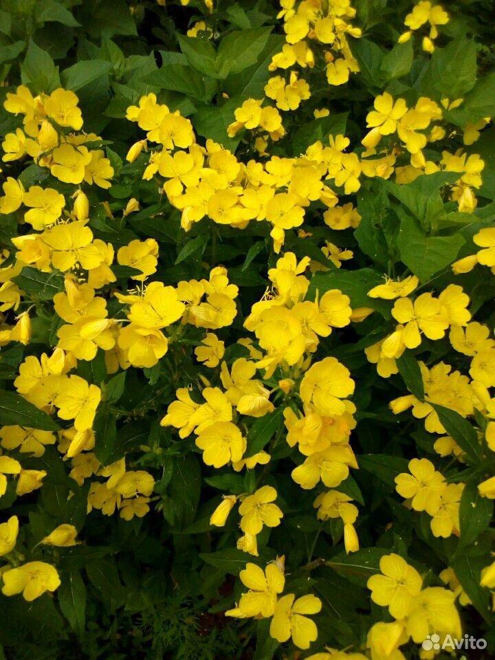 Растения садовые  89875767809 купить 8