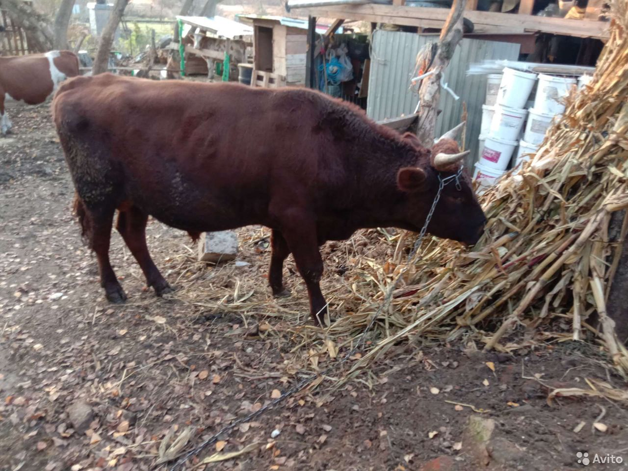 Айширский Bull 89156196344 kaufen 1