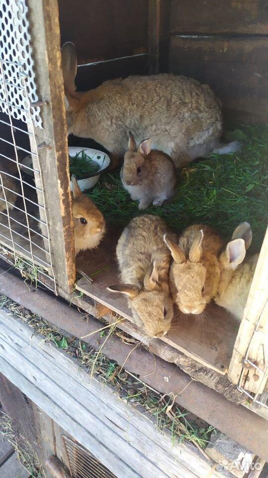 Кролик  89374313043 купить 3