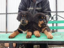 Породные щенки тибетского мастифа