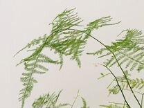 Аспарагус — Растения в Екатеринбурге
